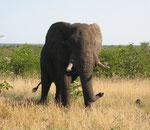 Un maschio in una zona di mopani