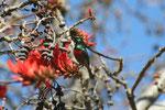 Coral tree, usato come veleno per dardi. I fiori attirano i sun-birds (netterinidi), l'equivalente africano dei colibri