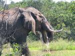 L'elefante africano, il primo dei Big Five.