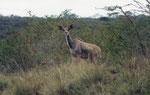 Femmima di kudu