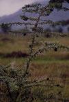 """Rovo fischiante. La puntura una specie di feroci formiche provoca la formazione di """"galle"""" abitate dagli insetti stessi."""