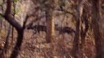 Rara foto di licaoni in Africa equatoriale ( confine Cameroon)
