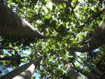 Forest fever tree a Ingwe. Non si tratta del fever tree di pianura (che é un'acacia) ma l'etimologia é la stessa: cresce vicino all'acqua ed un tempo coloro che si ammalavano di malaria, accampandosi nei suoi pressi, credevano ne fosse la causa.