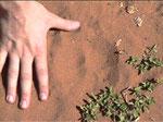 Altra traccia di grande maschio di leopardo a Ingwe