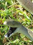 Come tutti i serpenti ha l'imbocco della trachea quasi fuori della cavità orale, come uno snorkel, per non soffocare quando inghiotte una grossa preda