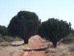 Euforbia ingens (candelabra tree) dal alttice velenoso e usato per pescare
