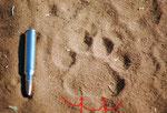 Traccia di grosso leopardo.Si notano le due indentature sul margine posteriore  del pad
