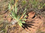 Bushmen poison bulb ( Boophane dysticha). Anche questa pianta è usata per avvelenare le frecce ma il veleno é più lento ad agire e spesso é usato in associazione con altre tossine per accelerarne l'effetto.