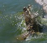 In acqua neppure il bufalo è al sicuro