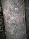 tracce di artigli. Nella mia riserva l'albero preferito dai leopardi per affilare gli artigli è il water-berry