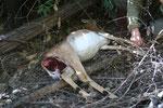 Kill di leoaprdo a Ingwe. Il pasto è iniziato dalla parte ventrale