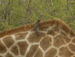 Bufaghe su giraffa. Liberano gli erbivori dalle zecche