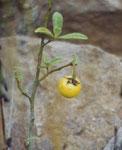 Poison apple. Non é la mela di Biancaneve, ma é velenosa lo stesso. Non assicura l'arrivo di alcun principe azzurro, ma spesso del becchino.