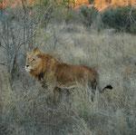 Ibhubhesi, il leone