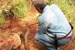 Bitis gabonica rynoceros di circa 170 cm per 10 Kg