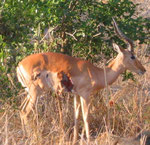 Impala scampato ad attacco di leopardo. Non sopravviverà. Da abbattere