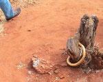 Avvicino un Cape cobra