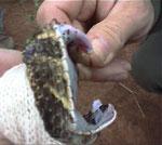Altro esemplare catturato a Ingwe