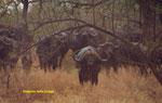 Il bufalo cafro è uno dei selvatici che provocano più morti