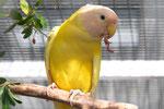 1.0 Pflaumenkopfsittich gelb übergossen; 1-jährig
