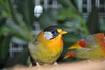 Silberohrsonnenvögel