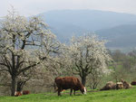 Kirschblüte im Eggenertal im Markgräfler Land