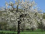 Kirschblüte am Schönberg Berghauser Matten