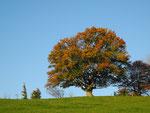 Wetterbuche im Herbstkleid