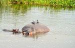 2016 Unsere 2. Safari mit den Kindern der 5.+6. Klasse auf dem Nil (Nilpferd oder Hippo)