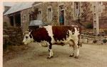 la vache devant la maison, dans les années 1970 ...