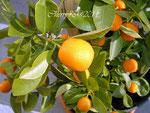 Il mandarino mignon