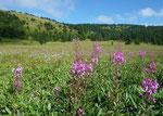 Beautiful alpine plants
