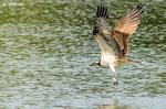 Fischadler; Aalkistensee
