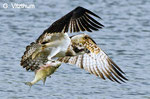 Fischadler, Aalkistensee