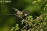 Neuntöter, Jungvogel