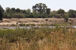 nijlpaarden langs de rivier