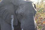 Olifant, Kruger park