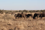 gnoes, wildebeest