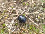 dicker Käfer (einer von Tausenden)