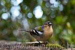 Buchfink, Madeira, P