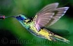Kolibri, Papiliorama, Schweiz