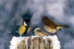 Heimische Vögel, Untersiggenthal, Schweiz