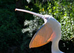 Pelikan, Zoo Basel