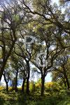 Korkeichenwald 1