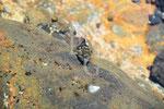 Fisch bei Ebbe Lanzarote