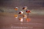 Flamants rose dans la laguna Colorada au cœur du Lipez (Bolivie)