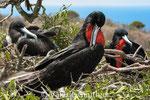 Frégates - Isla de la Plata (Equateur)