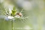 Abeille sur une nigelle (France)