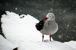 Mouette grise sous la neige à Ushuaia (Argentine)