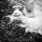 Paon blanc (Nouvelle Calédonie)